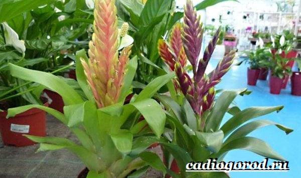 Вриезия-цветок-Описание-особенности-виды-и-уход-за-вриезией-16