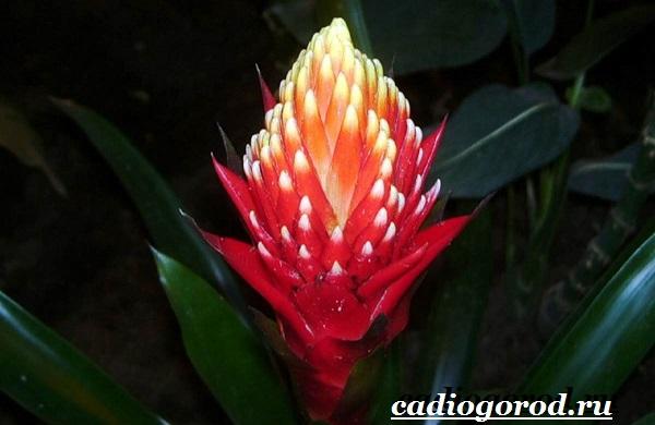 Вриезия-цветок-Описание-особенности-виды-и-уход-за-вриезией-19