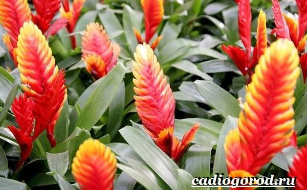 Вриезия-цветок-Описание-особенности-виды-и-уход-за-вриезией-23