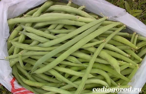 Выращивание-фасоли-Как-и-когда-сажать-фасоль-Уход-за-фасолью-15