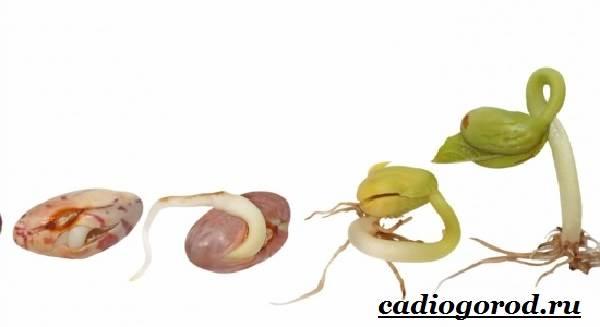 Выращивание-фасоли-Как-и-когда-сажать-фасоль-Уход-за-фасолью-22