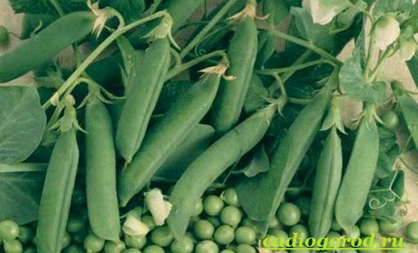 Выращивание-гороха-Как-и-когда-сажать-горох-Уход-за-горохом-4