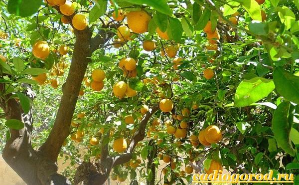 Лимон как выращивать в домашних
