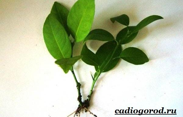 Выращивание-лимона-Как-вырастить-лимон-в-домашних-условиях-Уход-за-лимоном-8