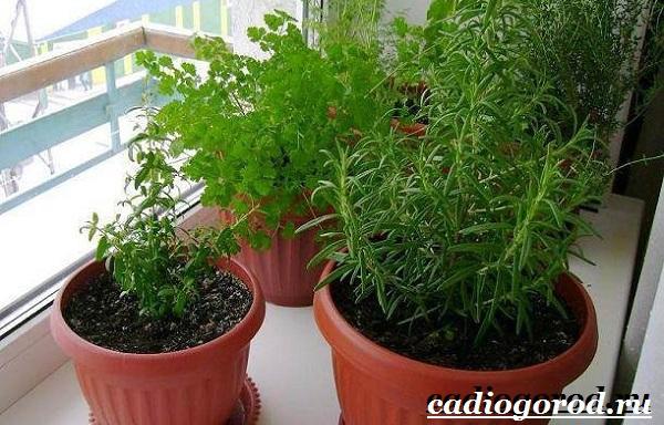 Выращивание петрушки. Как и когда сажать петрушку? Уход за петрушкой-6