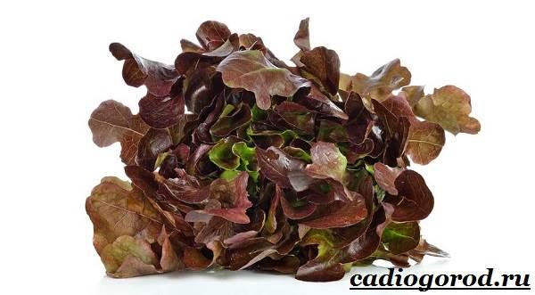 Выращивание-салата-Как-и-когда-сажать-салат-Уход-за-салатом-13