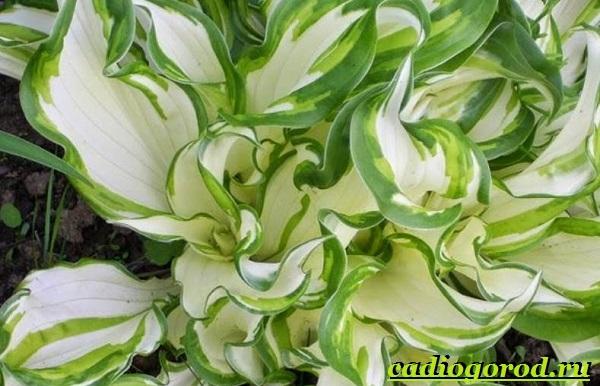 Хоста-цветок-Выращивание-хосты-Уход-за-хостой-12