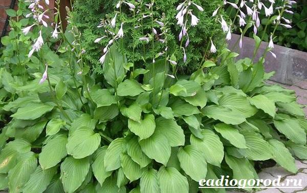 Хоста-цветок-Выращивание-хосты-Уход-за-хостой-2