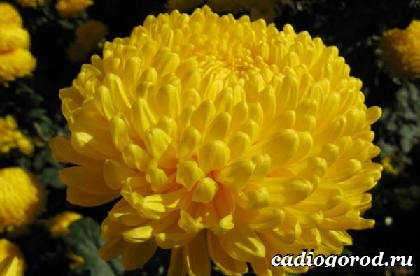 Хризантемы-цветы-Описание-особенности-виды-и-уход-за-хризантемами-1