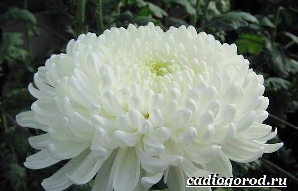 Хризантемы-цветы-Описание-особенности-виды-и-уход-за-хризантемами-14