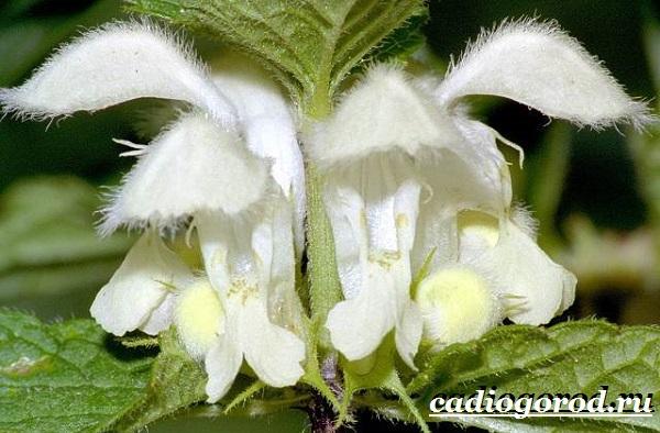 Яснотка-цветок-Описание-особенности-виды-и-уход-за-ясноткой-13
