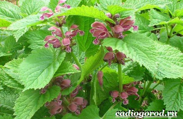 Яснотка-цветок-Описание-особенности-виды-и-уход-за-ясноткой-6