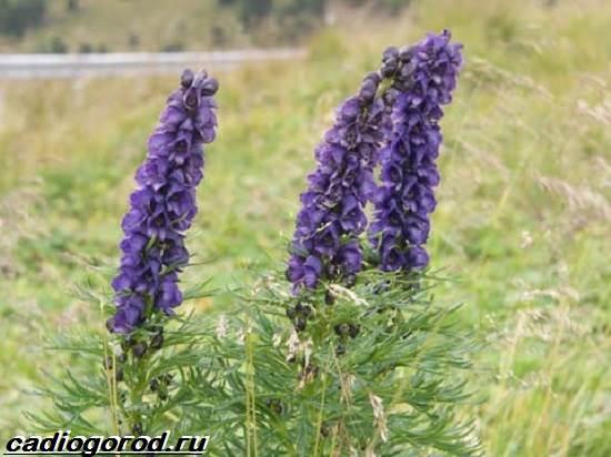 Аконит-растение-Описание-особенности-виды-и-уход-за-аканитом-3