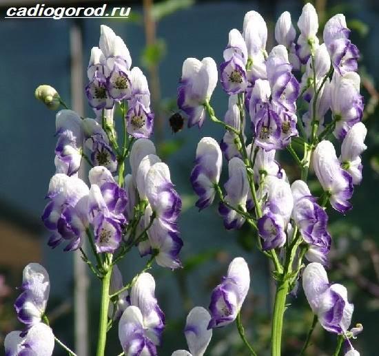 Аконит-растение-Описание-особенности-виды-и-уход-за-аканитом-6