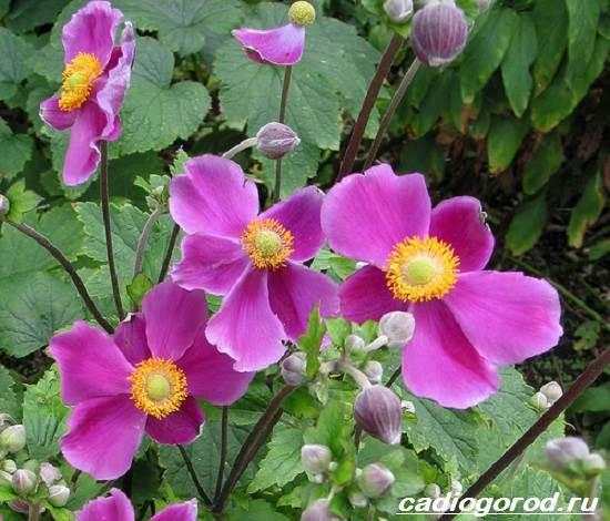 Анемоны-цветы-Описание-особенности-виды-и-уход-за-анемонами-2