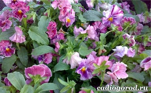 Анютины-глазки-цветы-Описание-особенности-виды-и-уход-за-анютиными-глазками-11