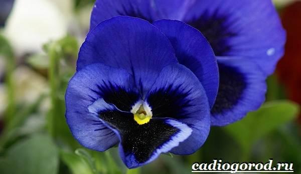 Анютины-глазки-цветы-Описание-особенности-виды-и-уход-за-анютиными-глазками-13
