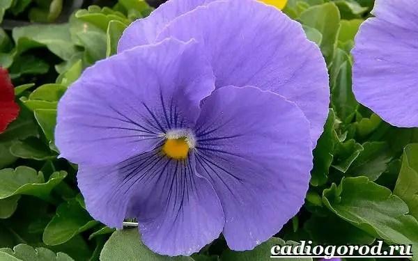 Анютины-глазки-цветы-Описание-особенности-виды-и-уход-за-анютиными-глазками-15