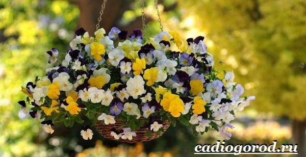 Анютины-глазки-цветы-Описание-особенности-виды-и-уход-за-анютиными-глазками-9