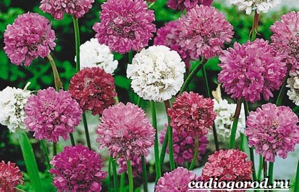 Армерия-цветок-Описание-особенности-виды-и-уход-за-армерией-11