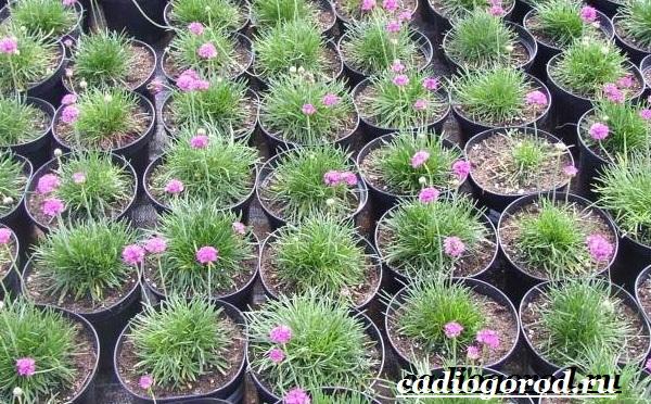 Армерия-цветок-Описание-особенности-виды-и-уход-за-армерией-12
