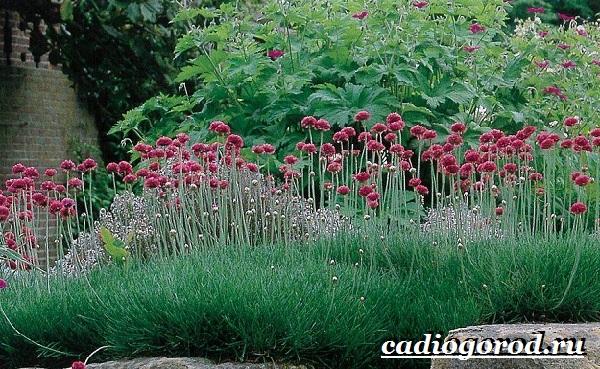 Армерия-цветок-Описание-особенности-виды-и-уход-за-армерией-2