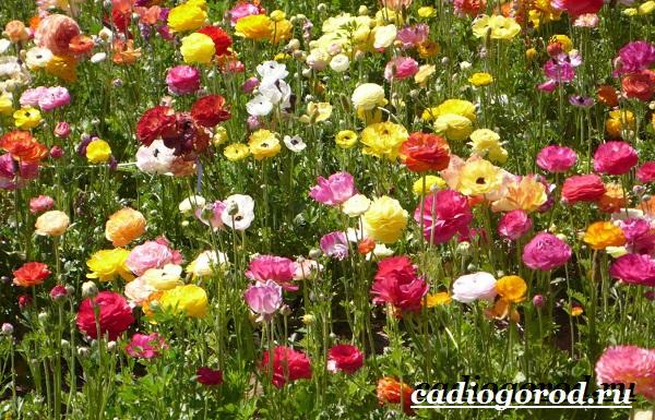 Цветок-лютик-садовый-Описание-особенности-виды-и-уход-за-садовым-лютиком-4