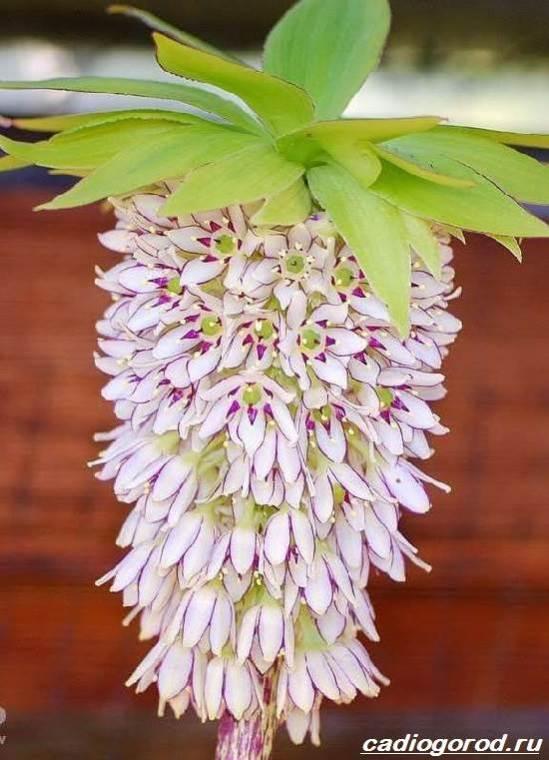 Эукомис-цветок-Описание-особенности-виды-и-уход-эукомиса-7