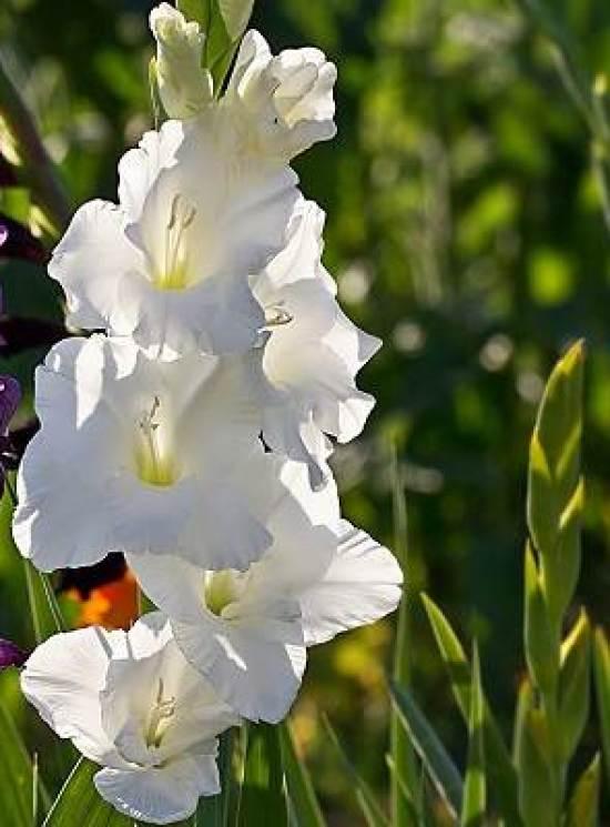 Гладиолус-цветок-Описание-особенности-виды-и-уход-за-гладиолусами-8