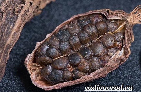 Кардамон-растение-Описание-свойства-выращивание-и-применение-кардамона-4