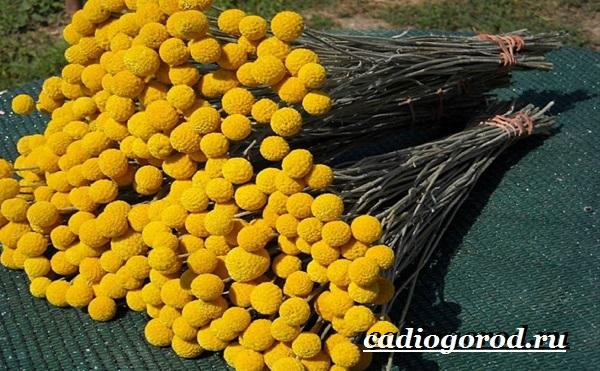 Краспедия цветок. Описание, особенности, виды и уход за краспедией-4