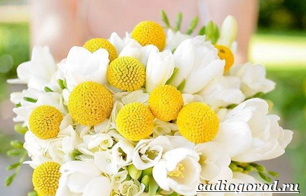 Краспедия цветок. Описание, особенности, виды и уход за краспедией-6