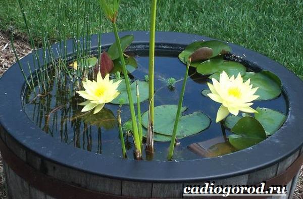 Кувшинка-белая-цветок-Описание-особенности-и-свойства-белой-кувшинки-12