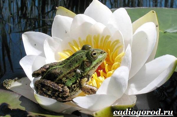 Кувшинка-белая-цветок-Описание-особенности-и-свойства-белой-кувшинки-3