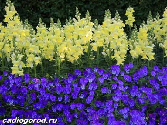 Маттиола-цветок-Описание-особенности-виды-и-уход-за-маттиолой-10