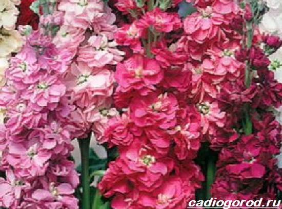 Маттиола-цветок-Описание-особенности-виды-и-уход-за-маттиолой-16
