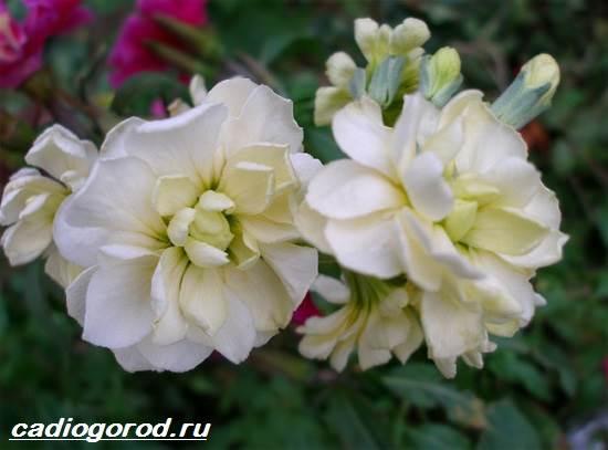 Маттиола-цветок-Описание-особенности-виды-и-уход-за-маттиолой-4
