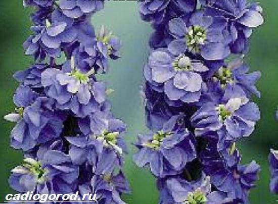 Маттиола-цветок-Описание-особенности-виды-и-уход-за-маттиолой-7