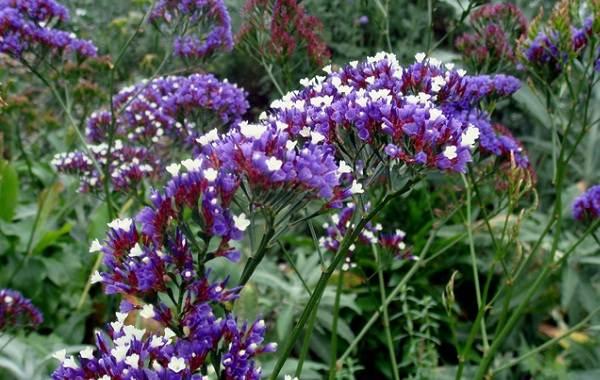 Статица-цветок-Описание-особенности-виды-и-уход-за-статицей-13