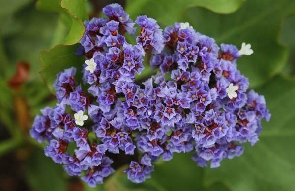 Статица-цветок-Описание-особенности-виды-и-уход-за-статицей