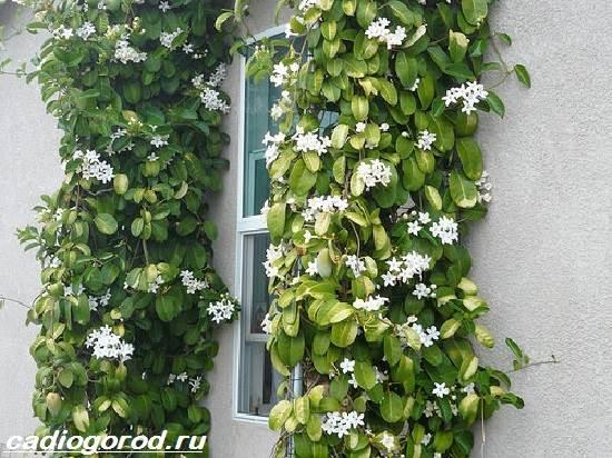 Стефанотис-цветок-Описание-особенности-виды-и-уход-за-стефанотисом-8
