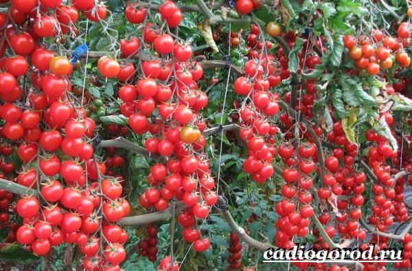 Томаты черри. Описание, особенности, выращивание и сорта томатов черри-28