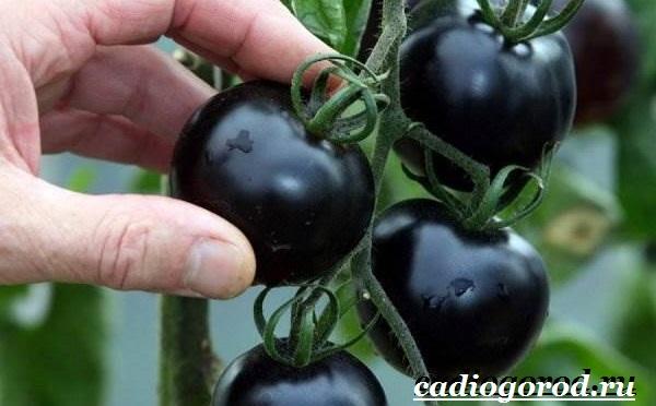 Томаты черри. Описание, особенности, выращивание и сорта томатов черри-4