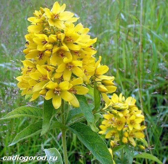 Вербейник-растение-Описание-особенности-виды-и-уход-за-вербейником-12