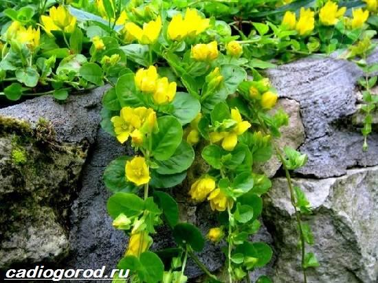 Вербейник-растение-Описание-особенности-виды-и-уход-за-вербейником-9