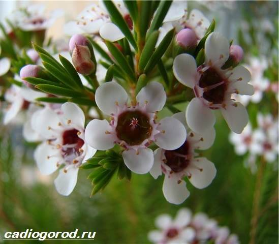Хамелациум-цветок-Описание-особенности-виды-и-уход-за-хамелациумом-1