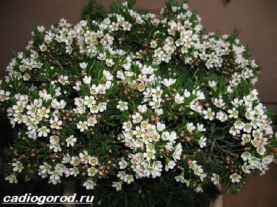 Хамелациум-цветок-Описание-особенности-виды-и-уход-за-хамелациумом-5