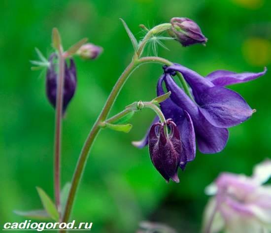 Аквилегия-цветок-Описание-особенности-виды-и-уход-за-аквилегией-6