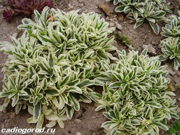 Арабис-цветок-Описание-особенности-виды-и-уход-за-арабисом-5