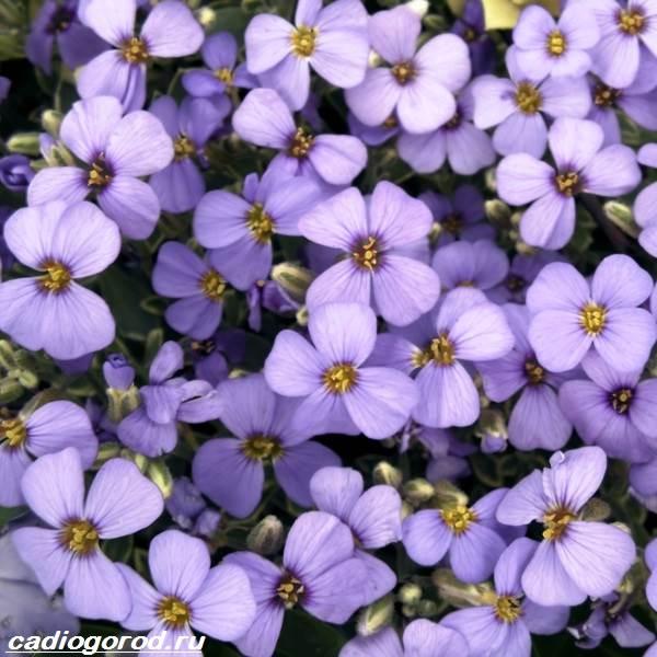 Арабис-цветок-Описание-особенности-виды-и-уход-за-арабисом-8